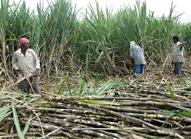 Sugar-farming